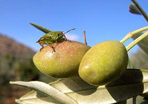 Nahaufnahme von grünen Oliven- ein Hauptbestandteil von Olivenölseife. Alepposeife ist 100% pflanzlich und frei von jedweden chemischen oder tierischen Zusatzstoffen.